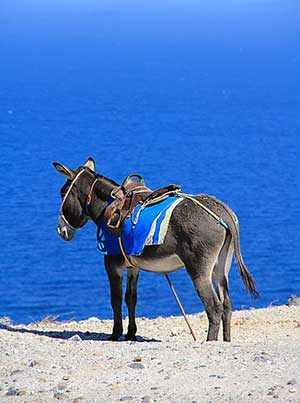 Donkey waiting for a yacht charter to return