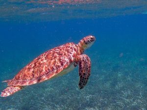 belize turtle